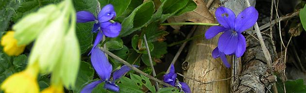 coucou et violettes